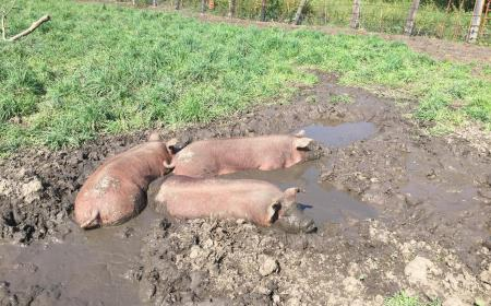 pigs in summer